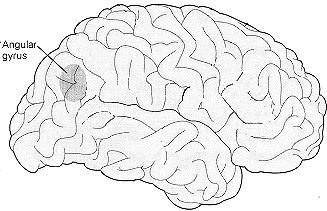the angular gyrus is located on the surface of the brain close to the temporal lobes